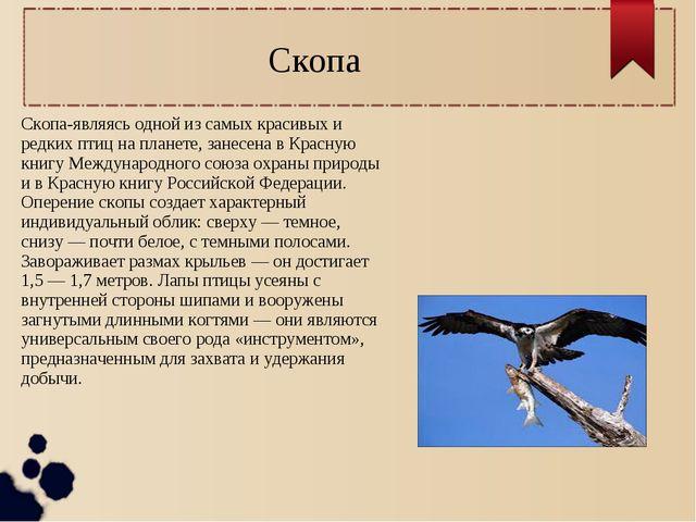 Скопа Скопа-являясь одной из самых красивых и редких птиц на планете, занесен...