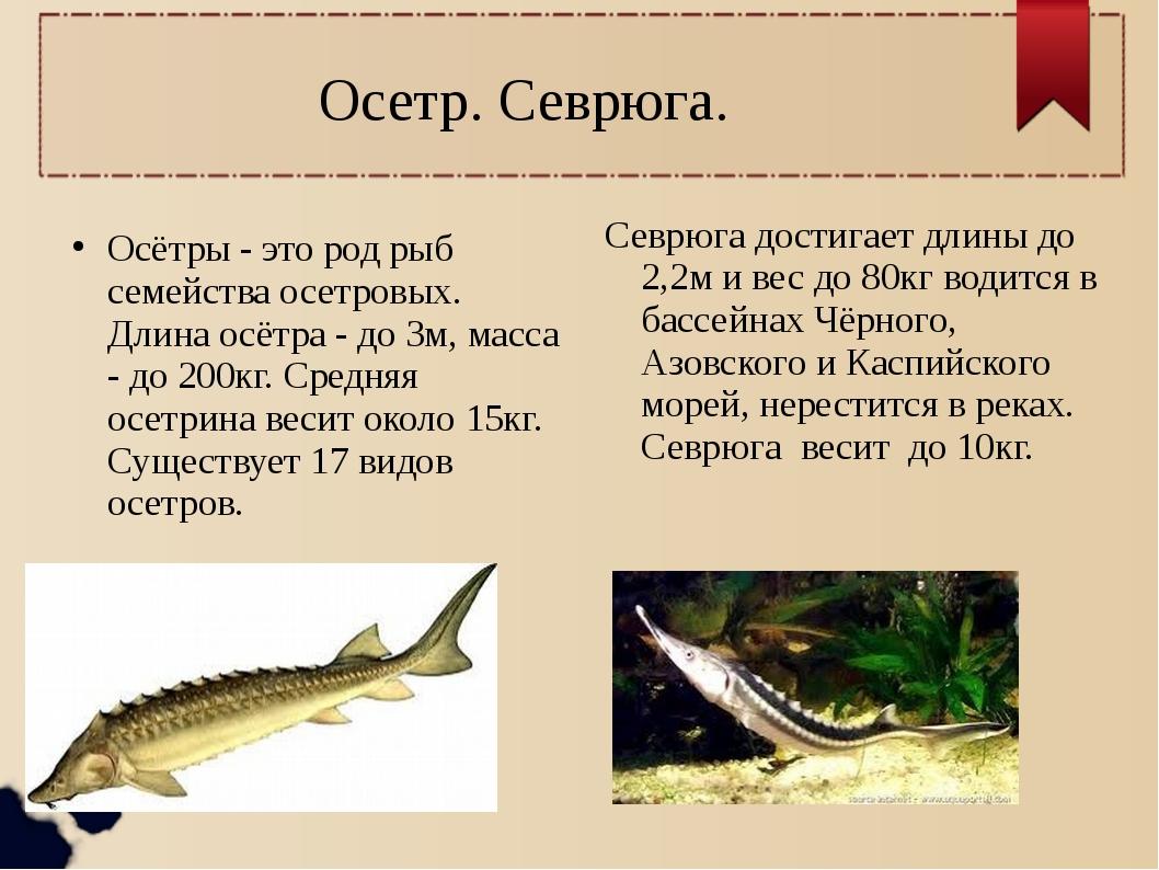 Осетр. Севрюга. Осётры - это род рыб семейства осетровых. Длина осётра - до 3...