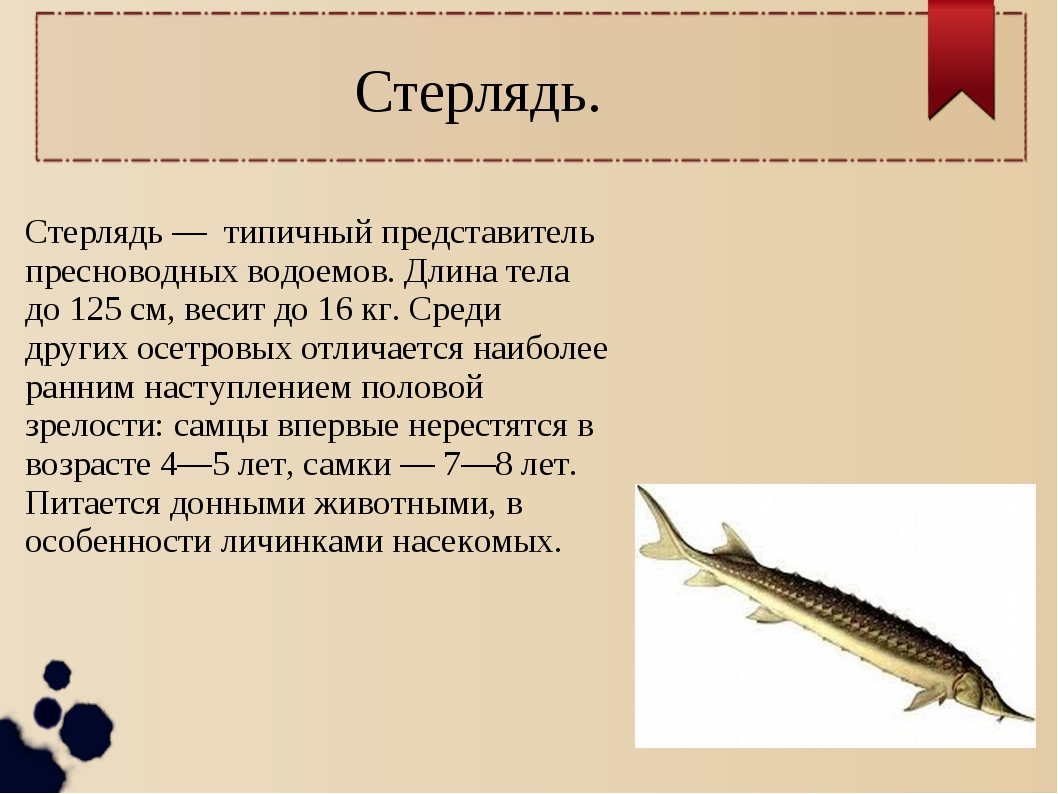 Стерлядь. Стерлядь — типичный представитель пресноводных водоемов. Длина тела...