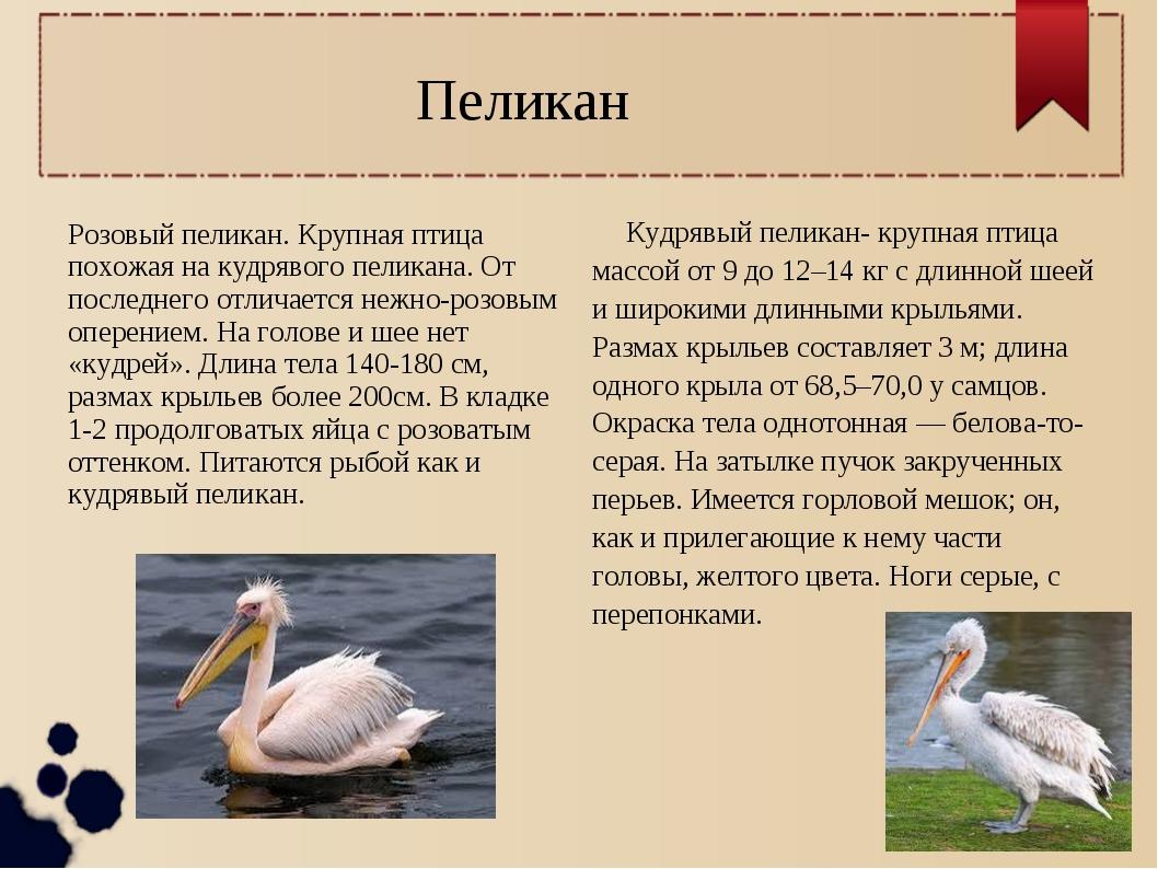 Пеликан Розовый пеликан. Крупная птица похожая на кудрявого пеликана. От посл...