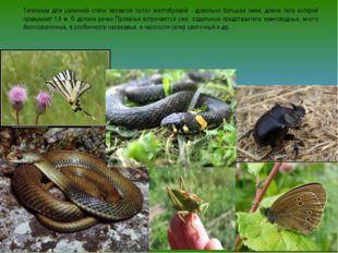 Типичным для целинной степи является полоз желтобрюхий - довольно большая зме