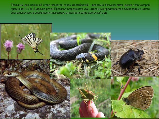 Типичным для целинной степи является полоз желтобрюхий - довольно большая зме...