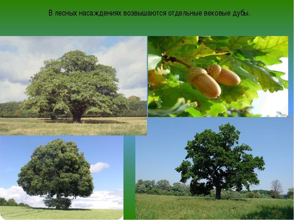 В лесных насаждениях возвышаются отдельные вековые дубы.