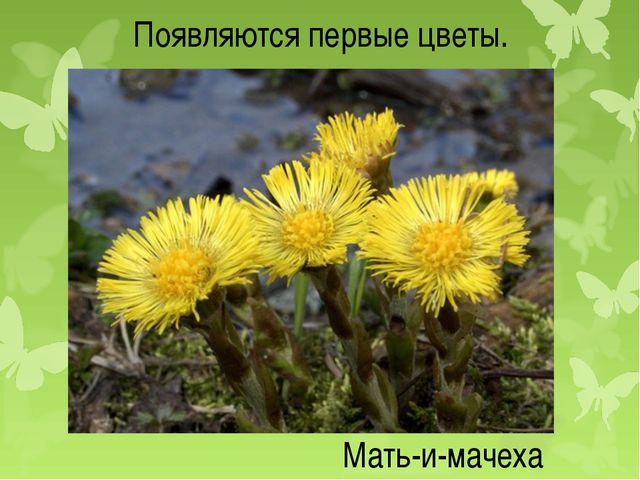 Появляются первые цветы. Мать-и-мачеха