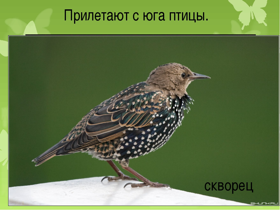 Прилетают с юга птицы. грачи скворец