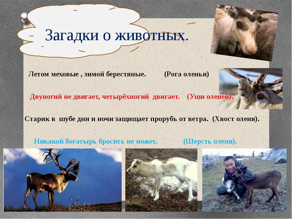 Загадки о животных. Летом меховые , зимой берестяные. (Рога оленьи)  Двун...