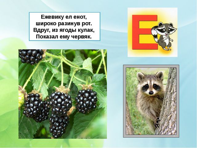Ежевику ел енот, широко разинув рот. Вдруг, из ягоды кулак, Показал ему червяк.