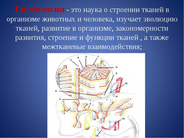 Гистология - это наука о строении тканей в организме животных и человека, изу...