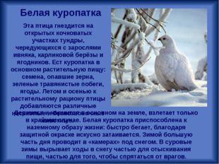 Эта птица гнездится на открытых кочковатых участках тундры, чередующихся с за