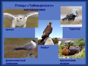 Кречет Длиннохвостый поморник Турухтан Краснозобая казарка Беркут Птицы «Тайм