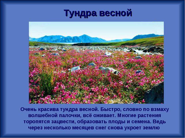 Тундра весной Очень красива тундра весной. Быстро, словно по взмаху волшебной...