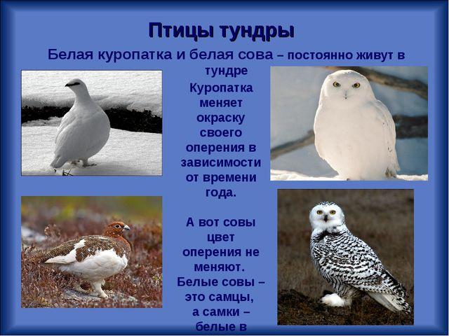 Белая куропатка и белая сова – постоянно живут в тундре Птицы тундры Куропатк...
