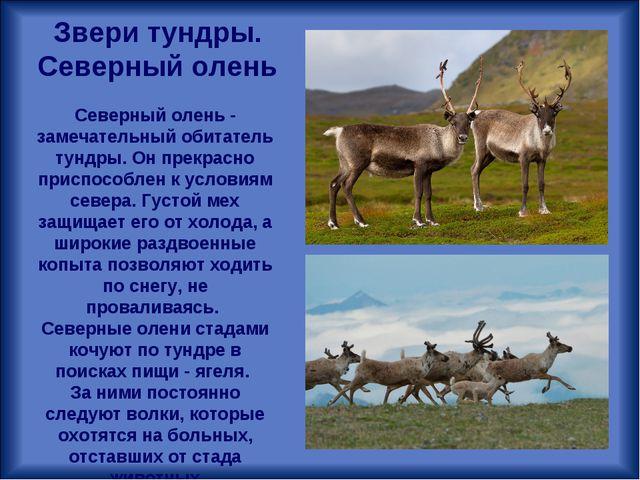 Звери тундры. Северный олень Северный олень - замечательный обитатель тундры....