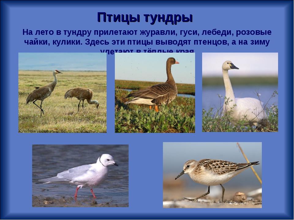 На лето в тундру прилетают журавли, гуси, лебеди, розовые чайки, кулики. Здес...