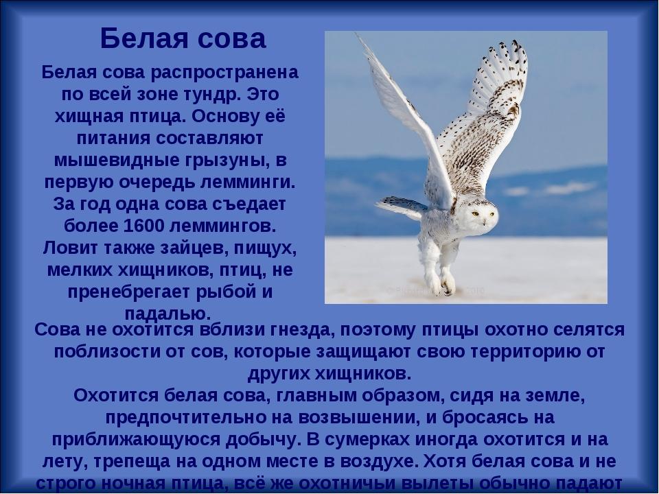 Белая сова распространена по всей зоне тундр. Это хищная птица. Основу её пит...