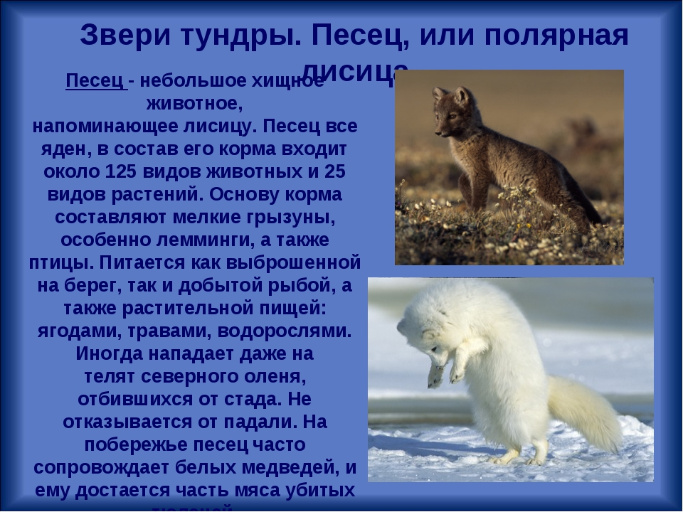 Звери тундры. Песец, или полярная лисица Песец - небольшое хищное животное, н...