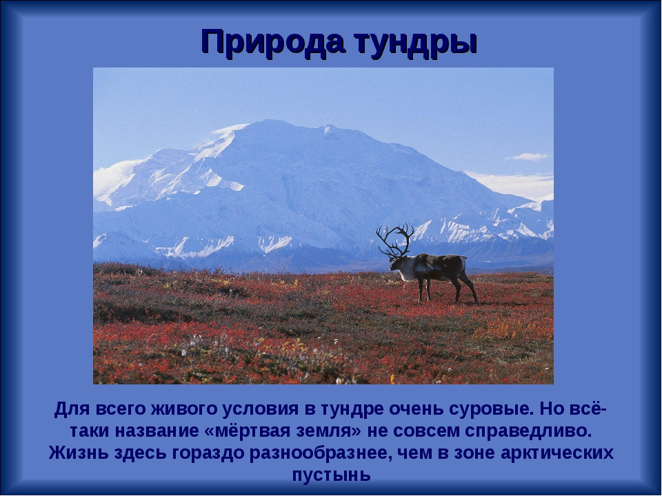 Природа тундры Для всего живого условия в тундре очень суровые. Но всё-таки н...