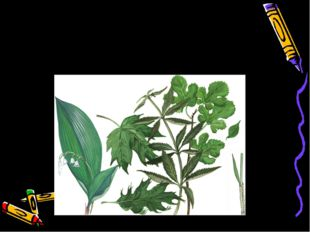 Простые листья – это листья с одной листовой пластинкой. Такой лист опадает ц