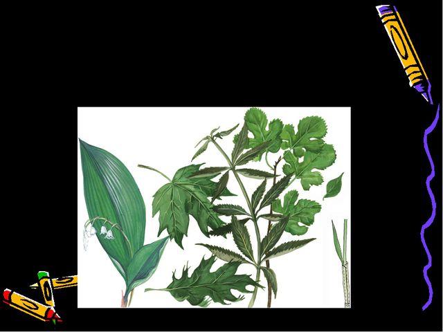 Простые листья – это листья с одной листовой пластинкой. Такой лист опадает ц...