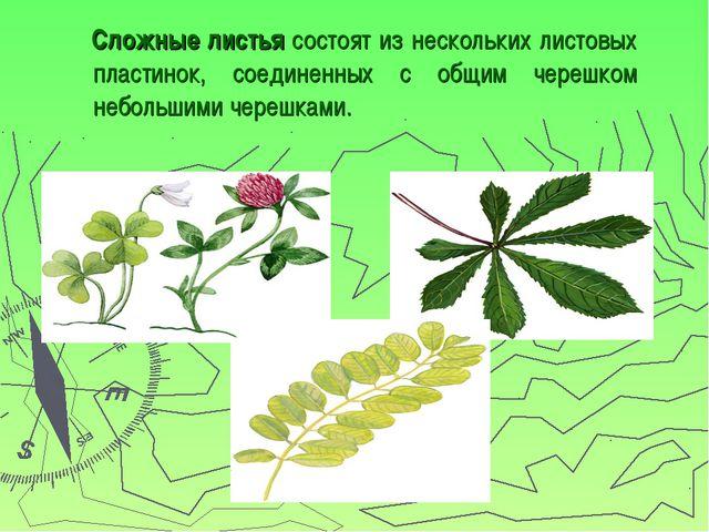 Сложные листья состоят из нескольких листовых пластинок, соединенных с общим...