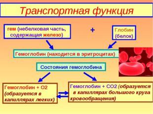 Транспортная функция гем (небелковая часть, содержащая железо) + Глобин (бело