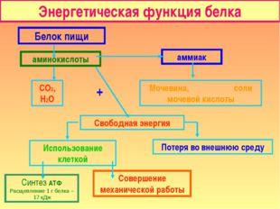 Энергетическая функция белка Белок пищи аминокислоты аммиак СО2, Н2О Мочевина