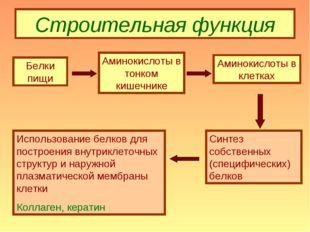 Строительная функция Белки пищи Аминокислоты в тонком кишечнике Аминокислоты