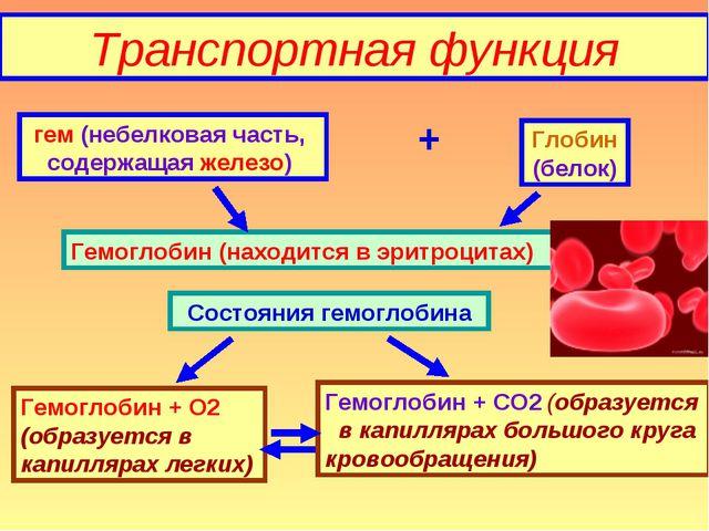 Транспортная функция гем (небелковая часть, содержащая железо) + Глобин (бело...