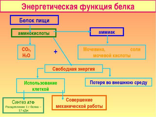 Энергетическая функция белка Белок пищи аминокислоты аммиак СО2, Н2О Мочевина...