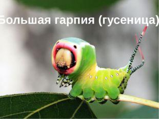 Большая гарпия (гусеница)