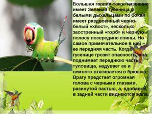 Большая гарпия-такое название имеет Зеленая гусеница с белыми дыхальцами по