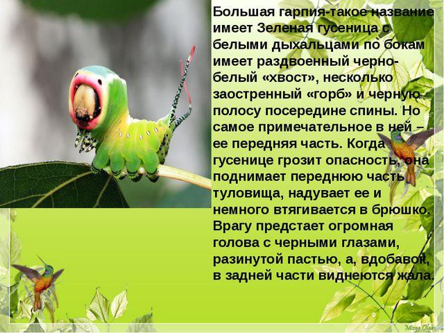 Большая гарпия-такое название имеет Зеленая гусеница с белыми дыхальцами по...
