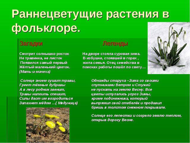Раннецветущие растения в фольклоре. Загадки Легенды Смотрит солнышко росток Н...