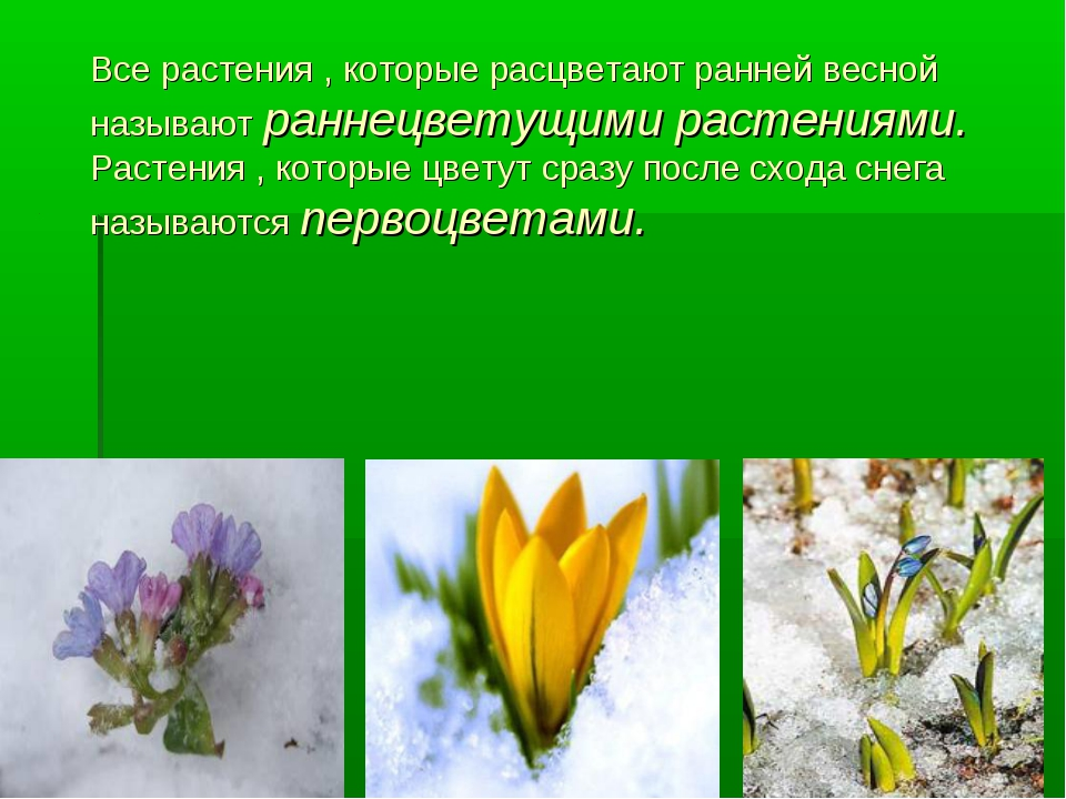 Все растения , которые расцветают ранней весной называют раннецветущими расте...