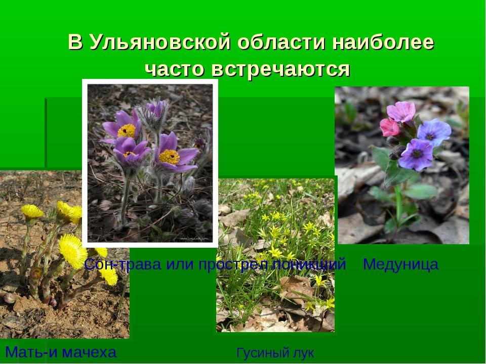 В Ульяновской области наиболее часто встречаются Мать-и мачеха Медуница Сон-...