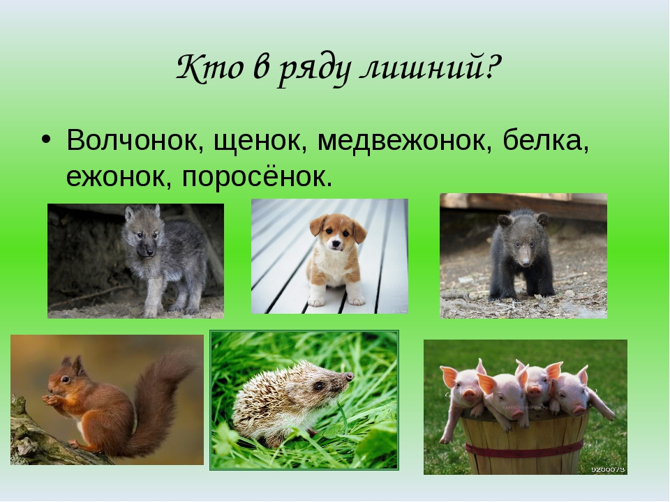 Кто в ряду лишний? Волчонок, щенок, медвежонок, белка, ежонок, поросёнок.
