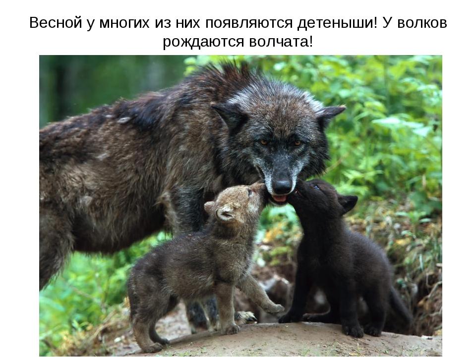Весной у многих из них появляются детеныши! У волков рождаются волчата!