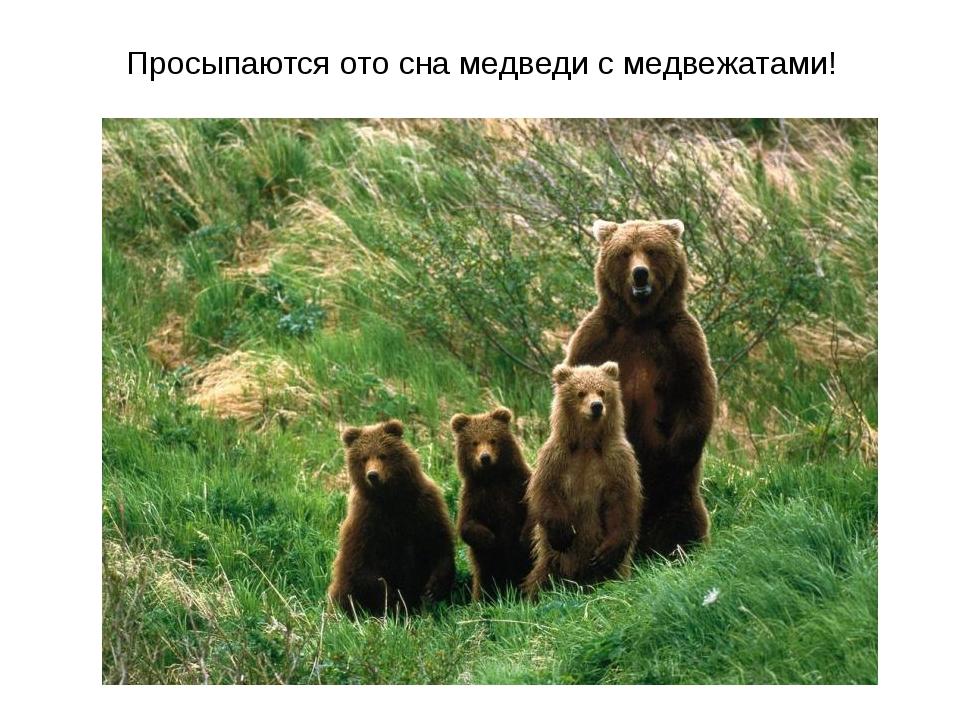 Просыпаются ото сна медведи с медвежатами!