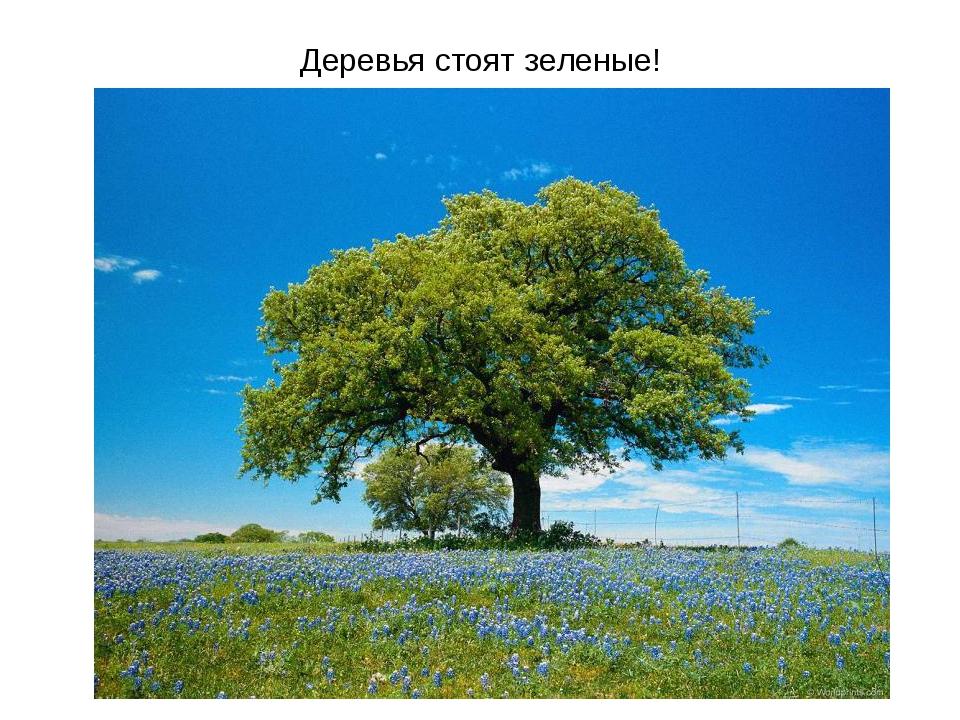 Деревья стоят зеленые!