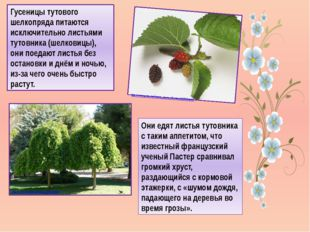 Гусеницы тутового шелкопряда питаются исключительно листьями тутовника (шелко