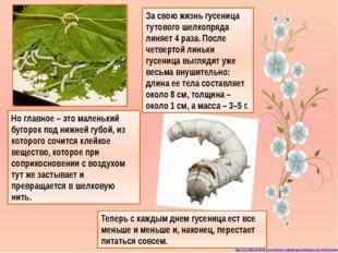За свою жизнь гусеница тутового шелкопряда линяет 4 раза. После четвертой лин