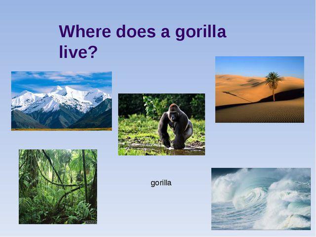 Where does a gorilla live? gorilla
