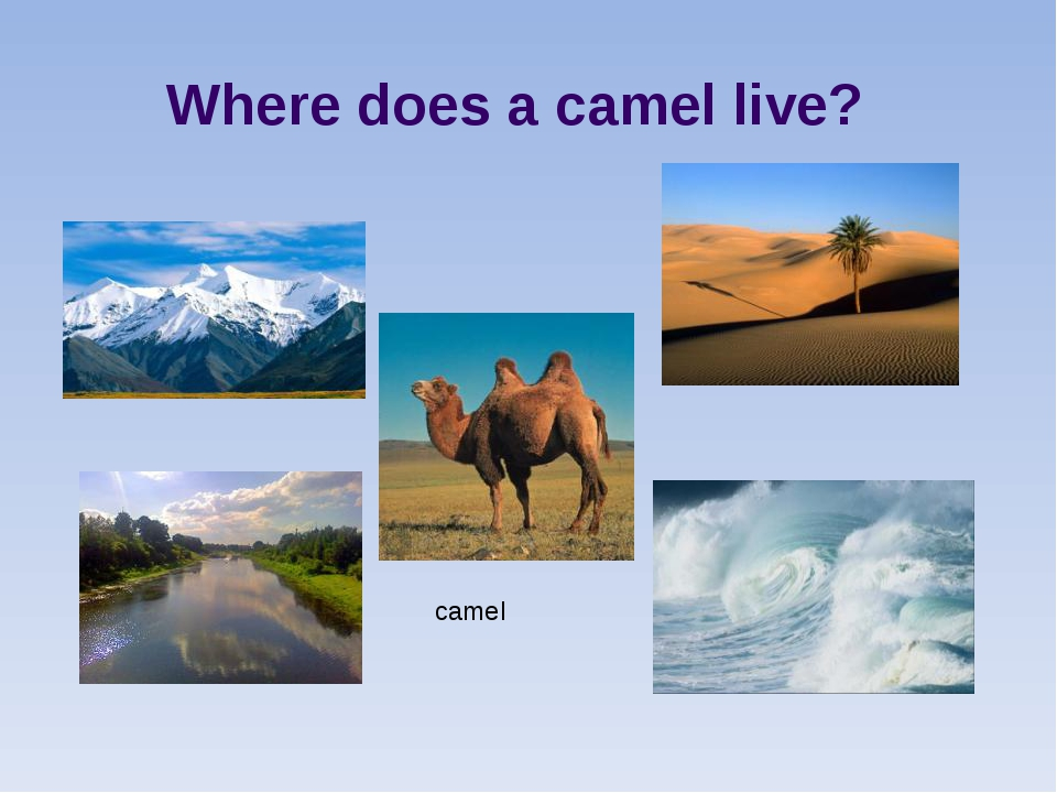 Where does a camel live? camel