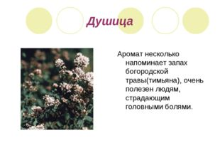 Душица Аромат несколько напоминает запах богородской травы(тимьяна), очень по
