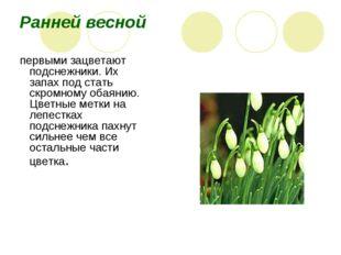Ранней весной первыми зацветают подснежники. Их запах под стать скромному об