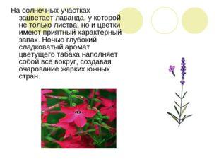 На солнечных участках зацветает лаванда, у которой не только листва, но и цве