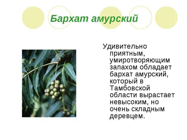 Бархат амурский Удивительно приятным, умиротворяющим запахом обладает бархат...