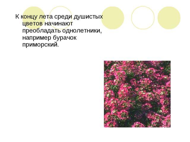 К концу лета среди душистых цветов начинают преобладать однолетники, например...
