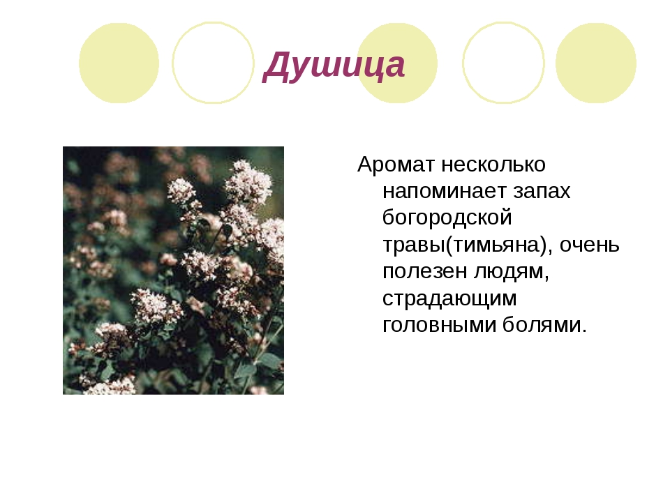 Душица Аромат несколько напоминает запах богородской травы(тимьяна), очень по...