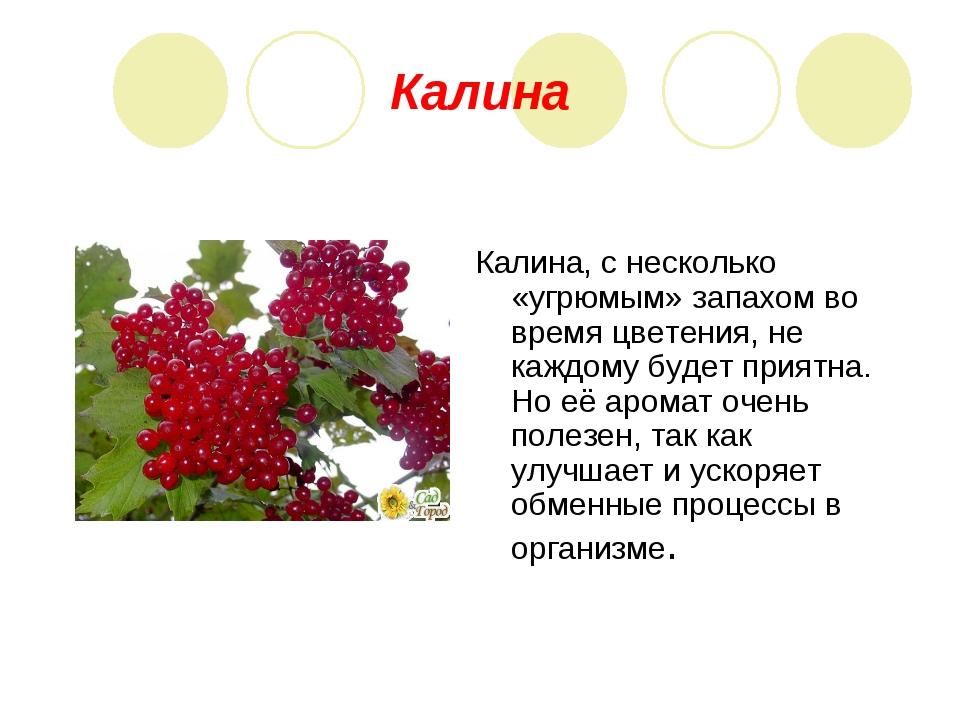 Калина Калина, с несколько «угрюмым» запахом во время цветения, не каждому бу...